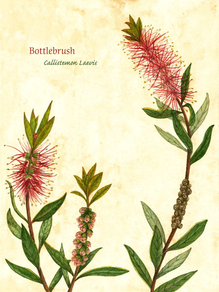Bottlebrush, Watercolor
