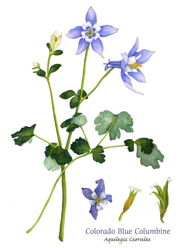 Colorado Blue Columbine, Watercolor