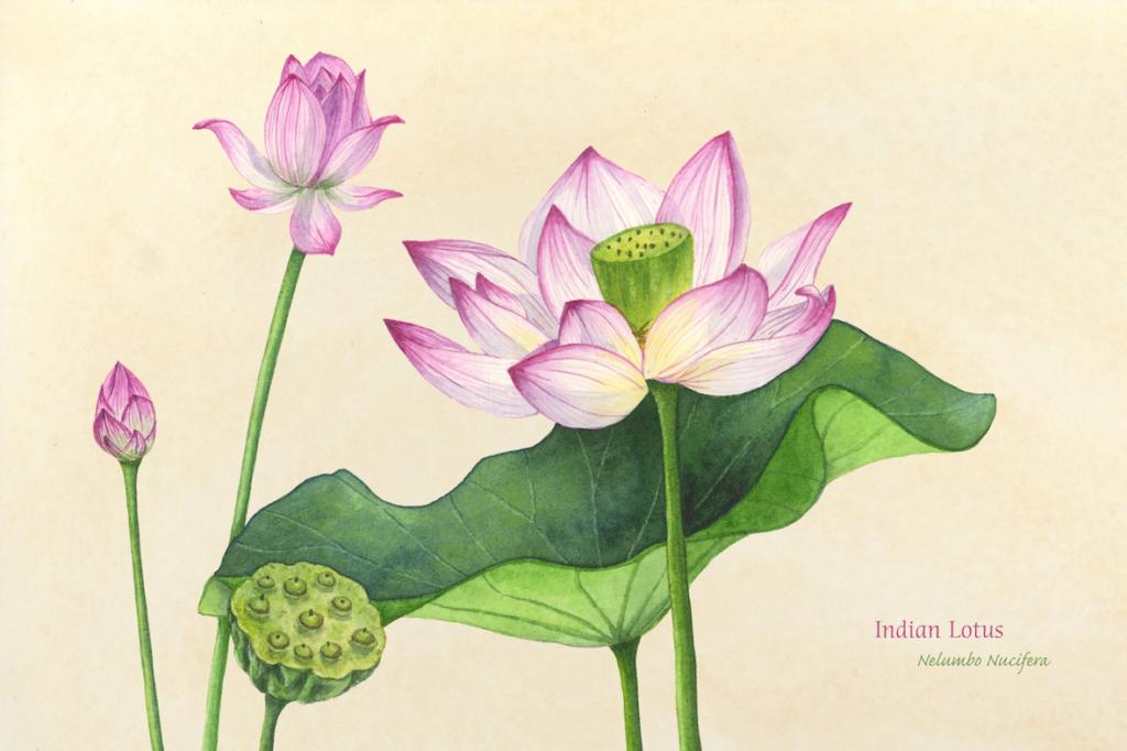 Indian Lotus, Watercolor