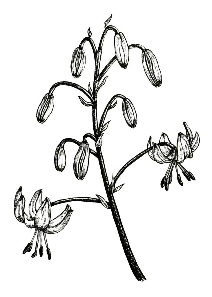 Martagon Lily, Scratchboard