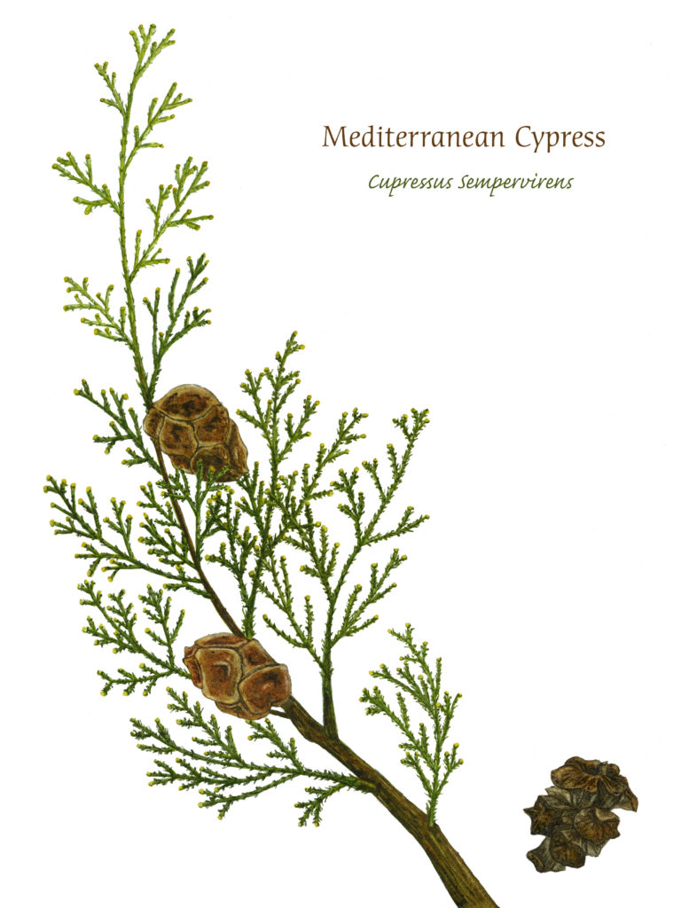 Mediterranean Cypress, Watercolor