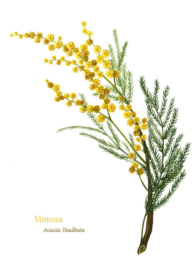 Mimosa, Watercolor