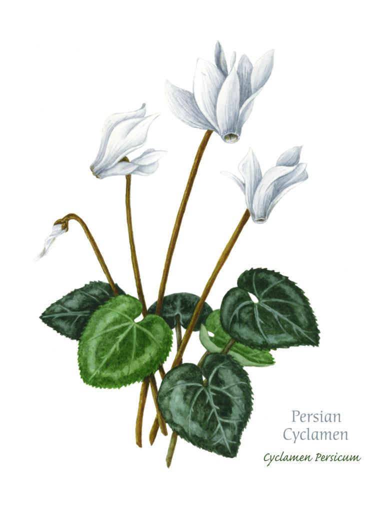 Persian Cyclamen, Watercolor