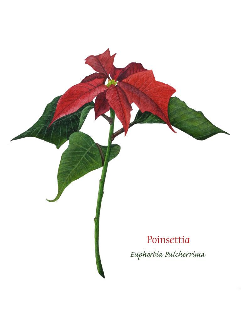 Poinsettia, Watercolor