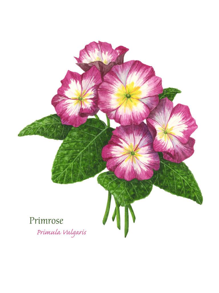 Primrose, Watercolor