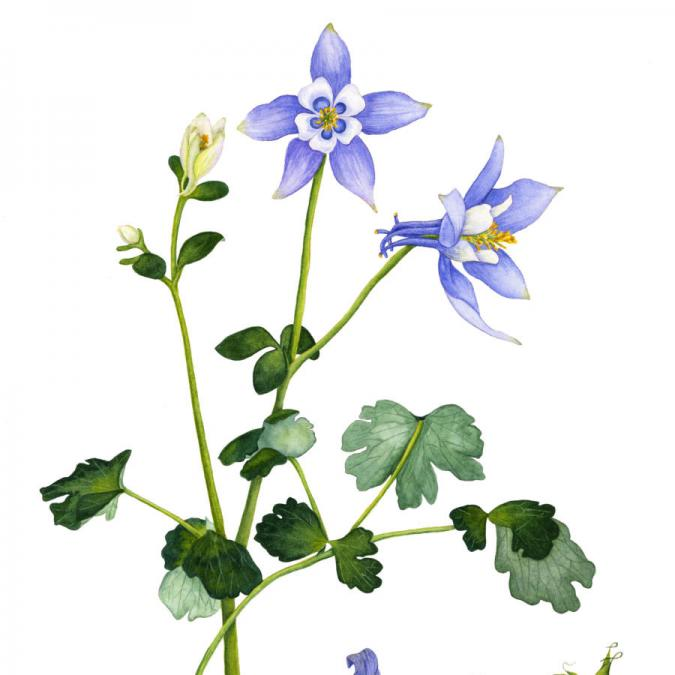 Colorado Blue Columbine