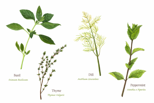 Basil/Thyme/Dill/Peppermint